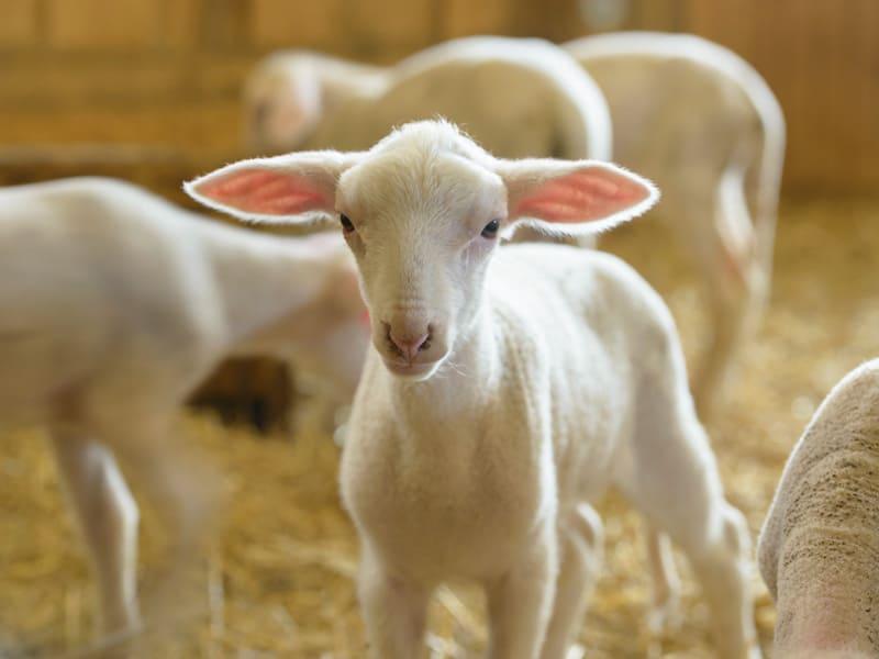 agneau dans l'étable